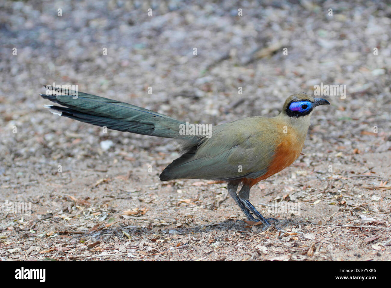 Giant Madagascar coucal, Giant coua (Coua gigas), stands on the ground, Madagascar, Zombitse-Vohibasia National - Stock Image