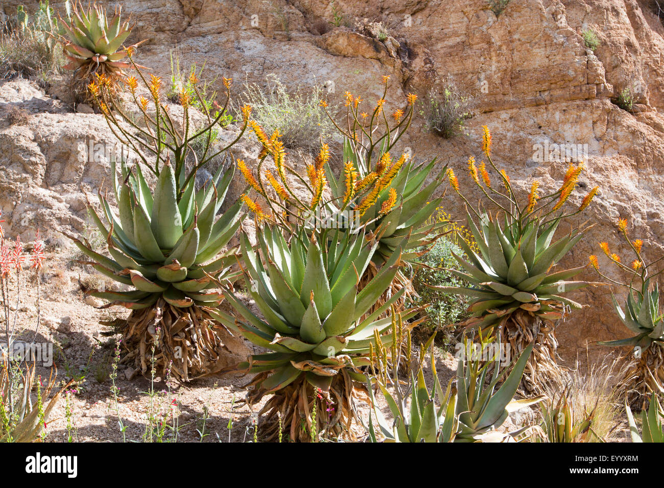 Mountain Aloe, Flat flowerd Aloe, Large Spiny Aloe (Aloe marlothii), flowering group at a rock wall, USA, Arizona, - Stock Image