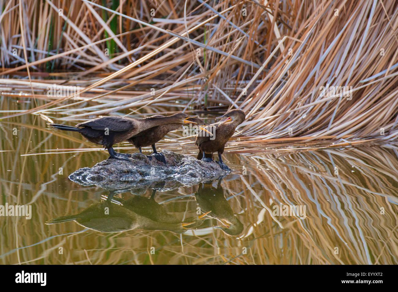 double-crested cormorant (Phalacrocorax auritus), excited communication on a rock in the lake, USA, Arizona, Boyce - Stock Image