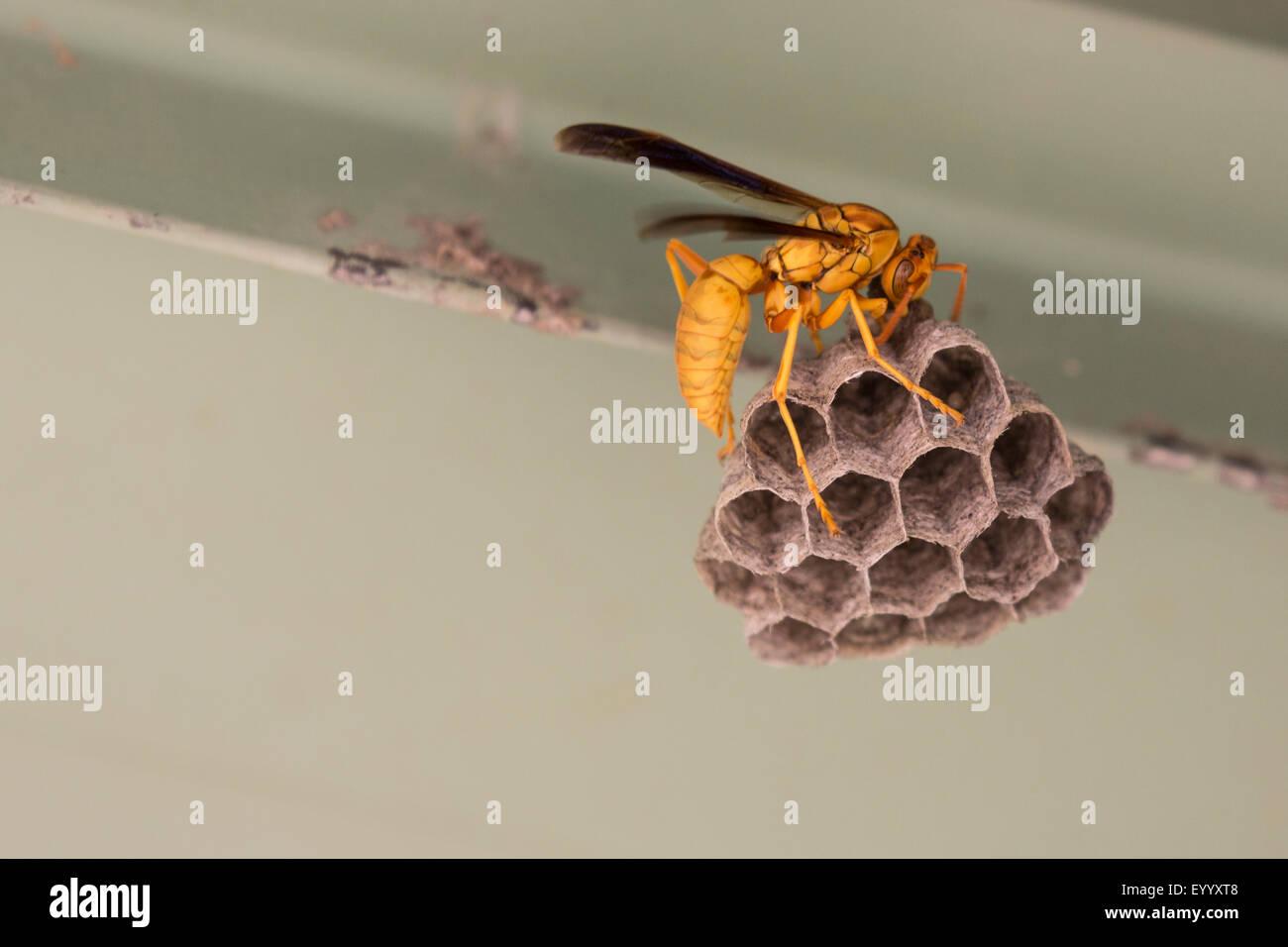 vespid wasps, social wasps (hornets & yellowjackets & potter wasps & paper wasps) (Vesperidae, - Stock Image