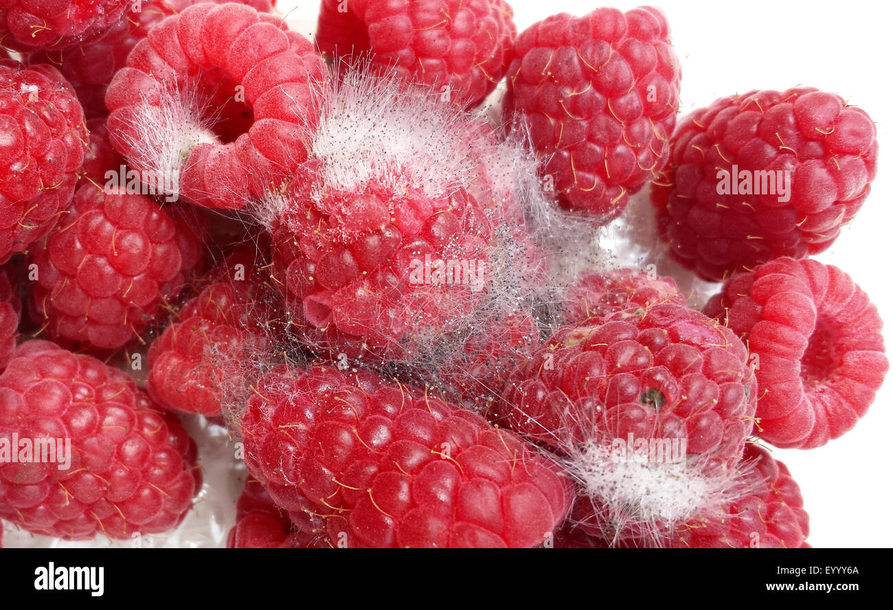 mouldy raspberries, Germany - Stock Image