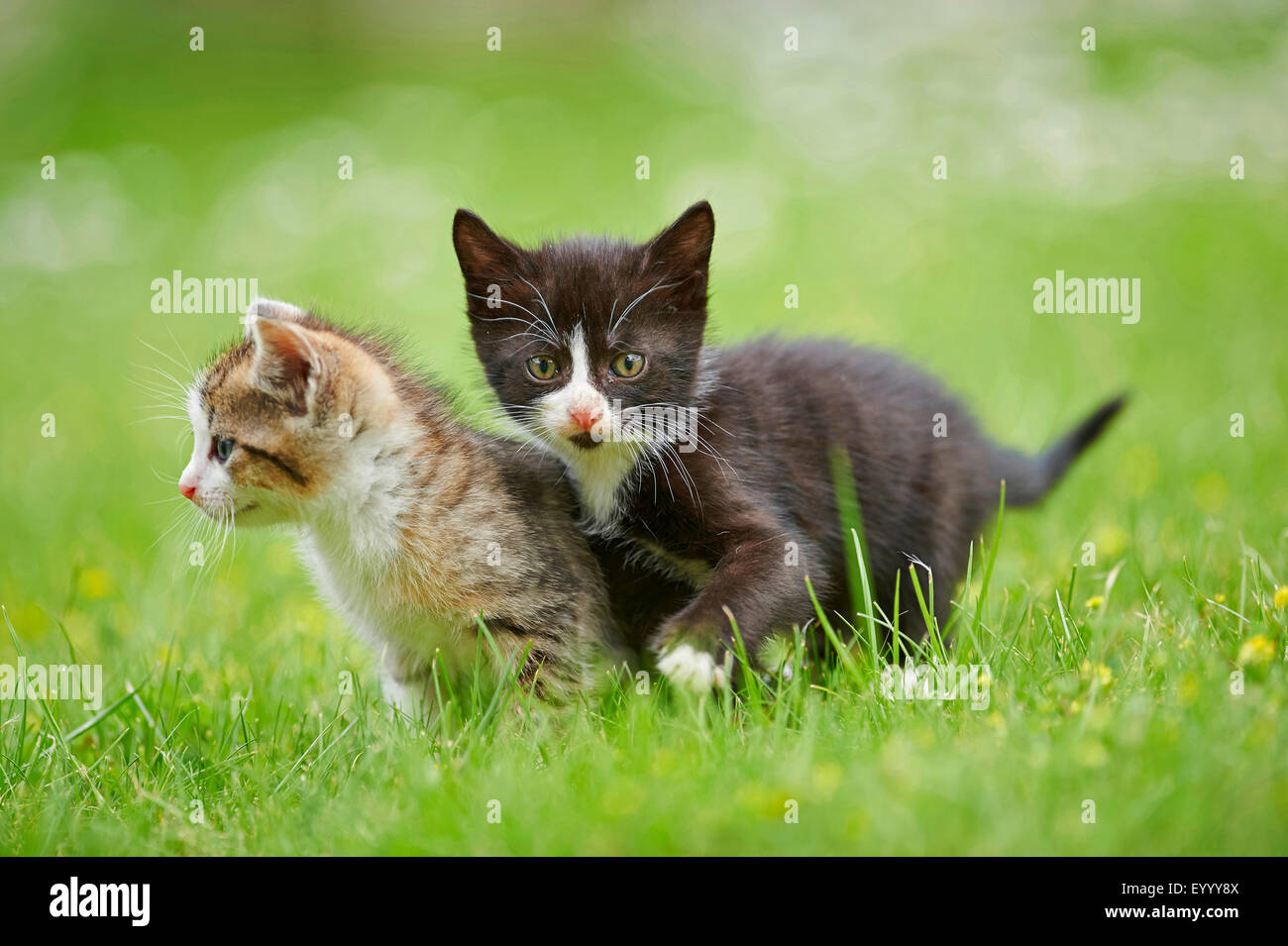 domestic cat, house cat (Felis silvestris f. catus), two six weeks old kittens in a meadow, Germany - Stock Image