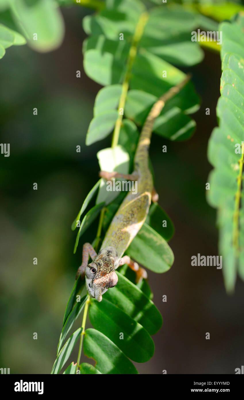 Blue-nosed Chameleon (Calumma boettgeri), male rests on a leaf in the shaddow, Madagascar, Nosy Be, Lokobe Reserva - Stock Image
