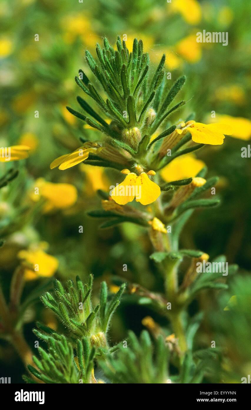 ground-pine, yellow bugle (Ajuga chamaepitys), blooming, Germany Stock Photo