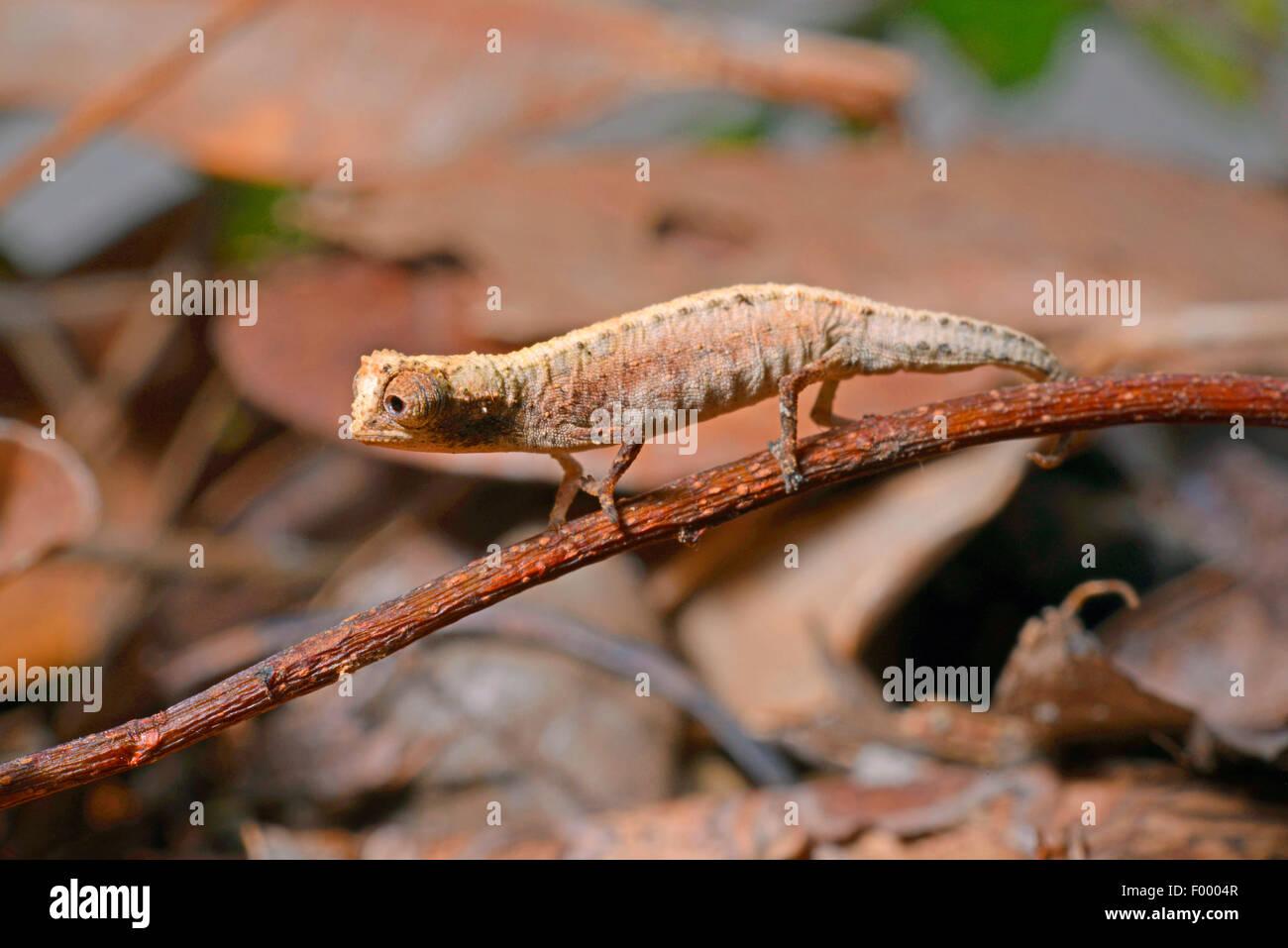 Tiny Leaf Chameleon Stock Photos Tiny Leaf Chameleon Stock Images