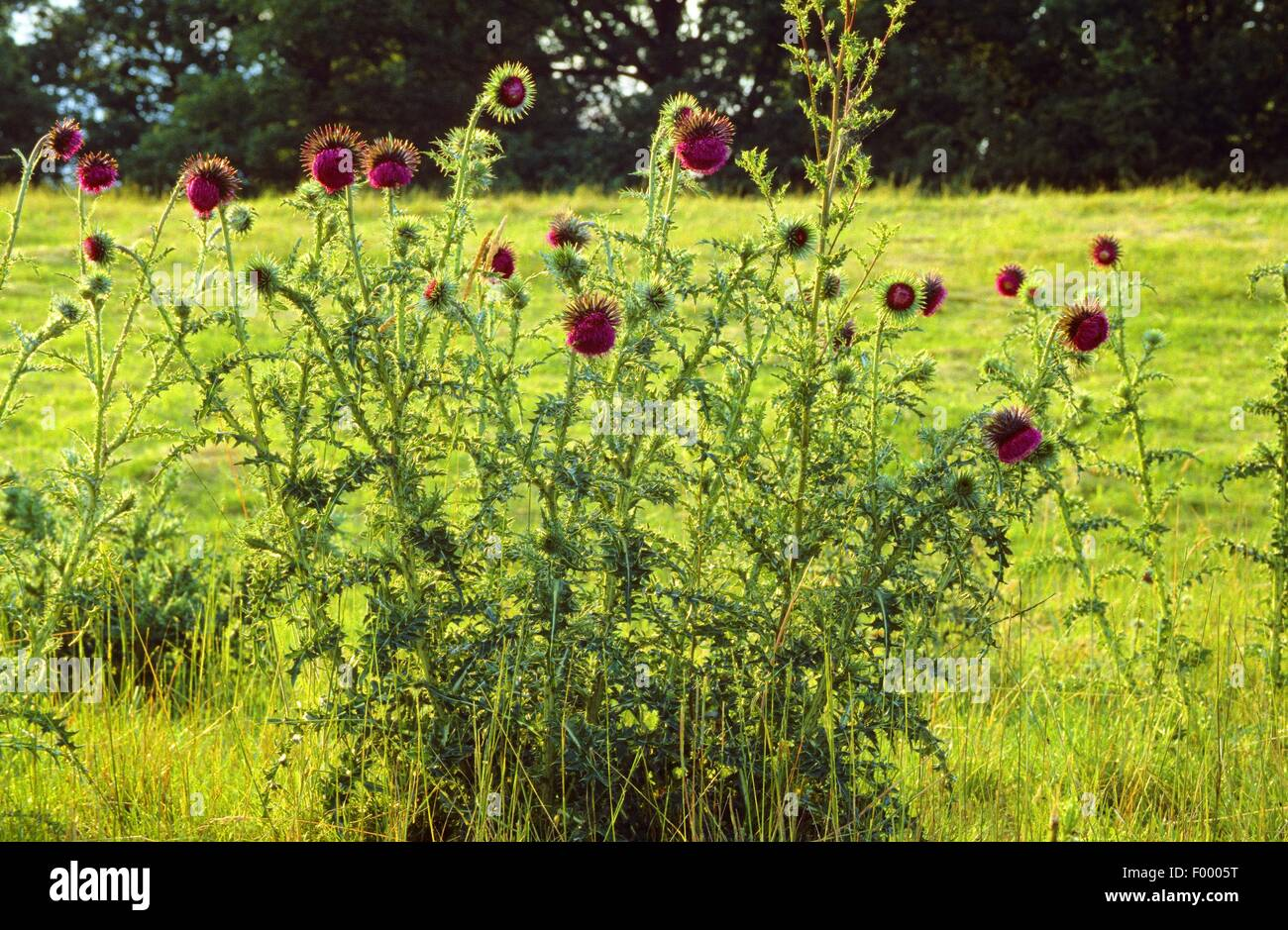 musk thistle, nodding thistle (Carduus nutans), blooming, Germany - Stock Image
