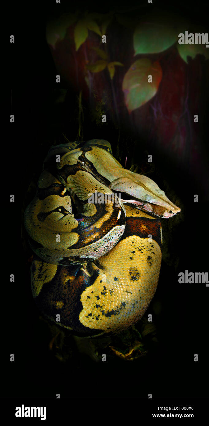 Red-tailed Boa (Boa constrictor), rolled-up - Stock Image
