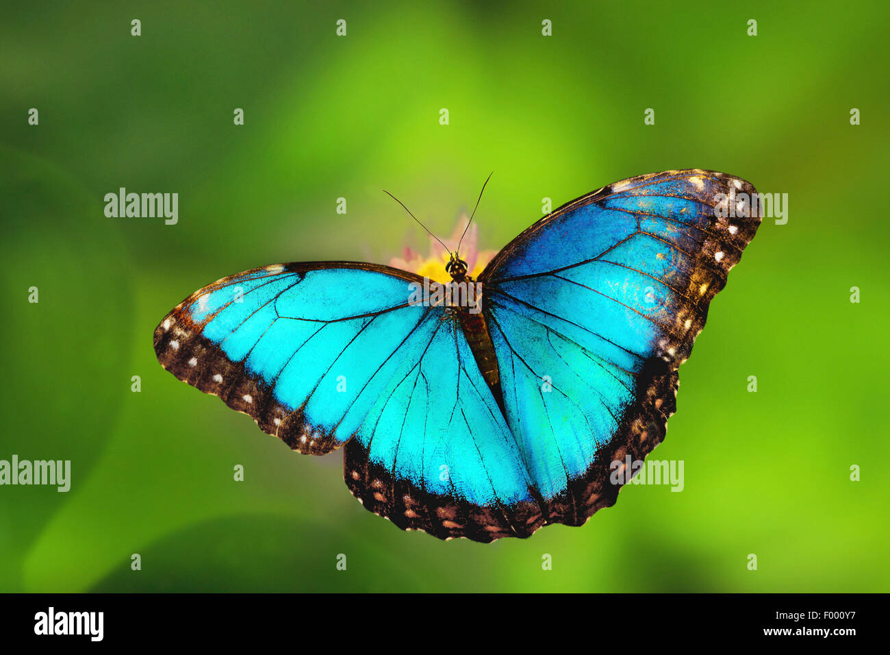 blue morpho (Morpho peleides), sitting on a flower - Stock Image