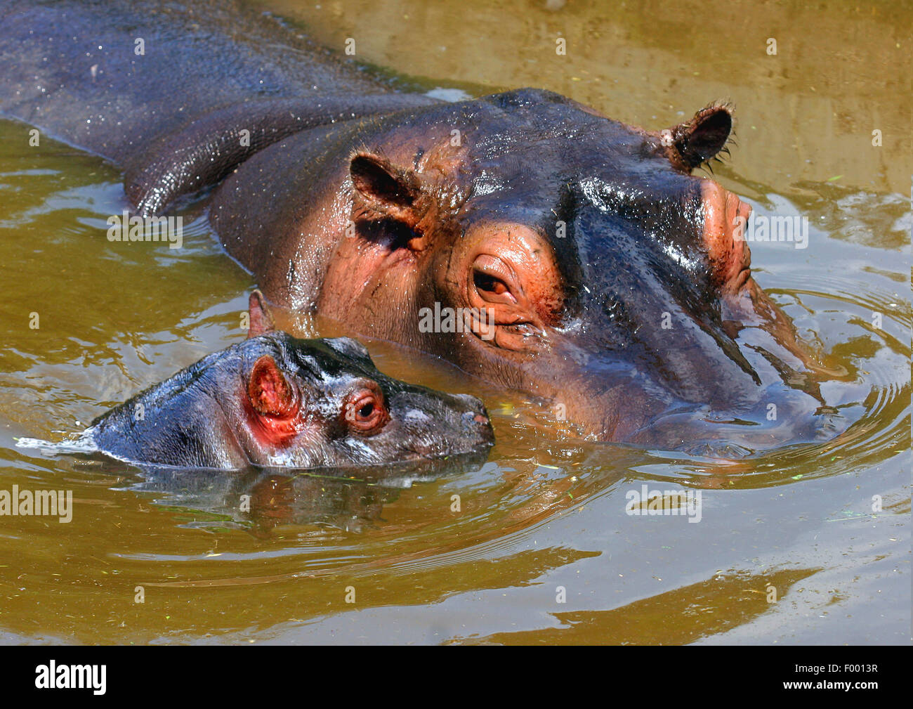 hippopotamus, hippo, Common hippopotamus (Hippopotamus amphibius), adult with pup in stretch of water, Africa - Stock Image