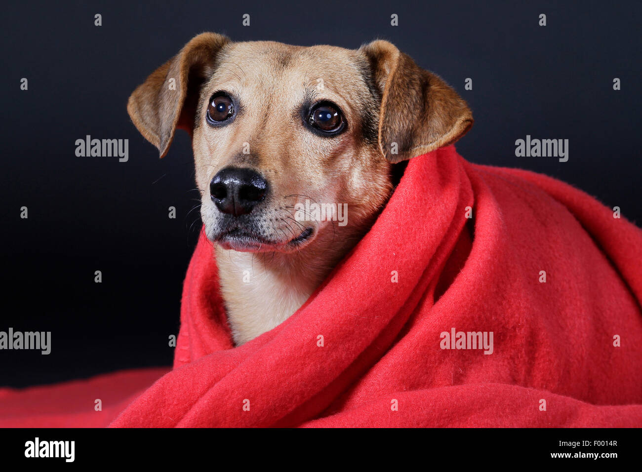 domestic dog (Canis lupus f. familiaris), wrapped in a red blancet in front of black background, portrait - Stock Image