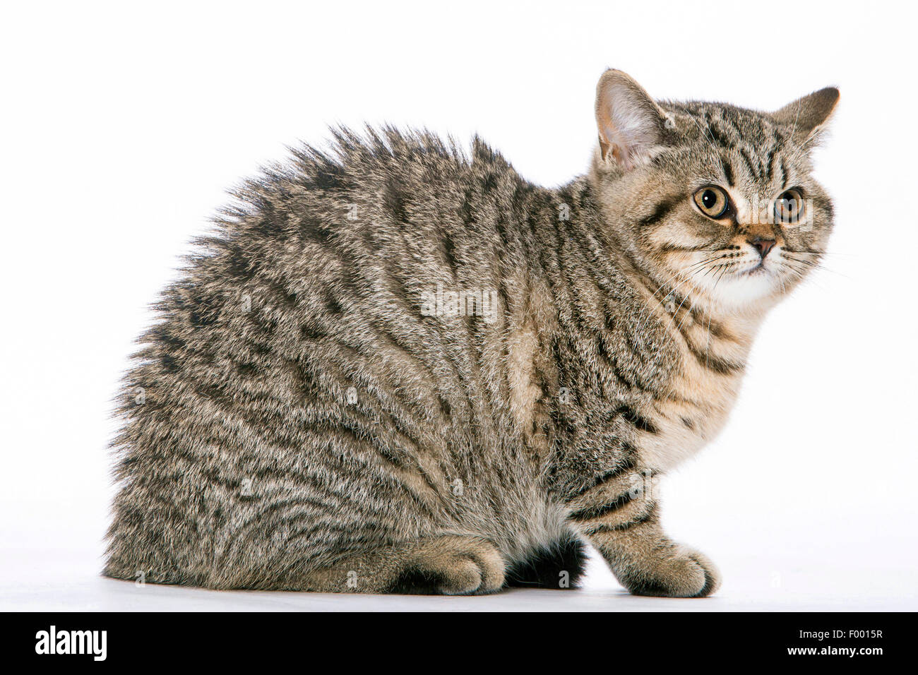 British Shorthair (Felis silvestris f. catus), little striped kitten arching one's back - Stock Image