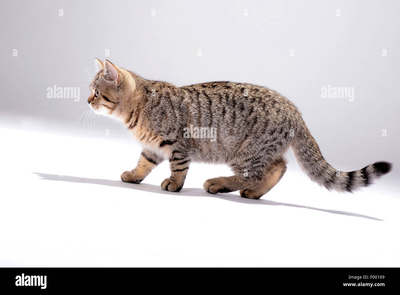 British Shorthair (Felis silvestris f. catus), little striped kitten, side view - Stock Image