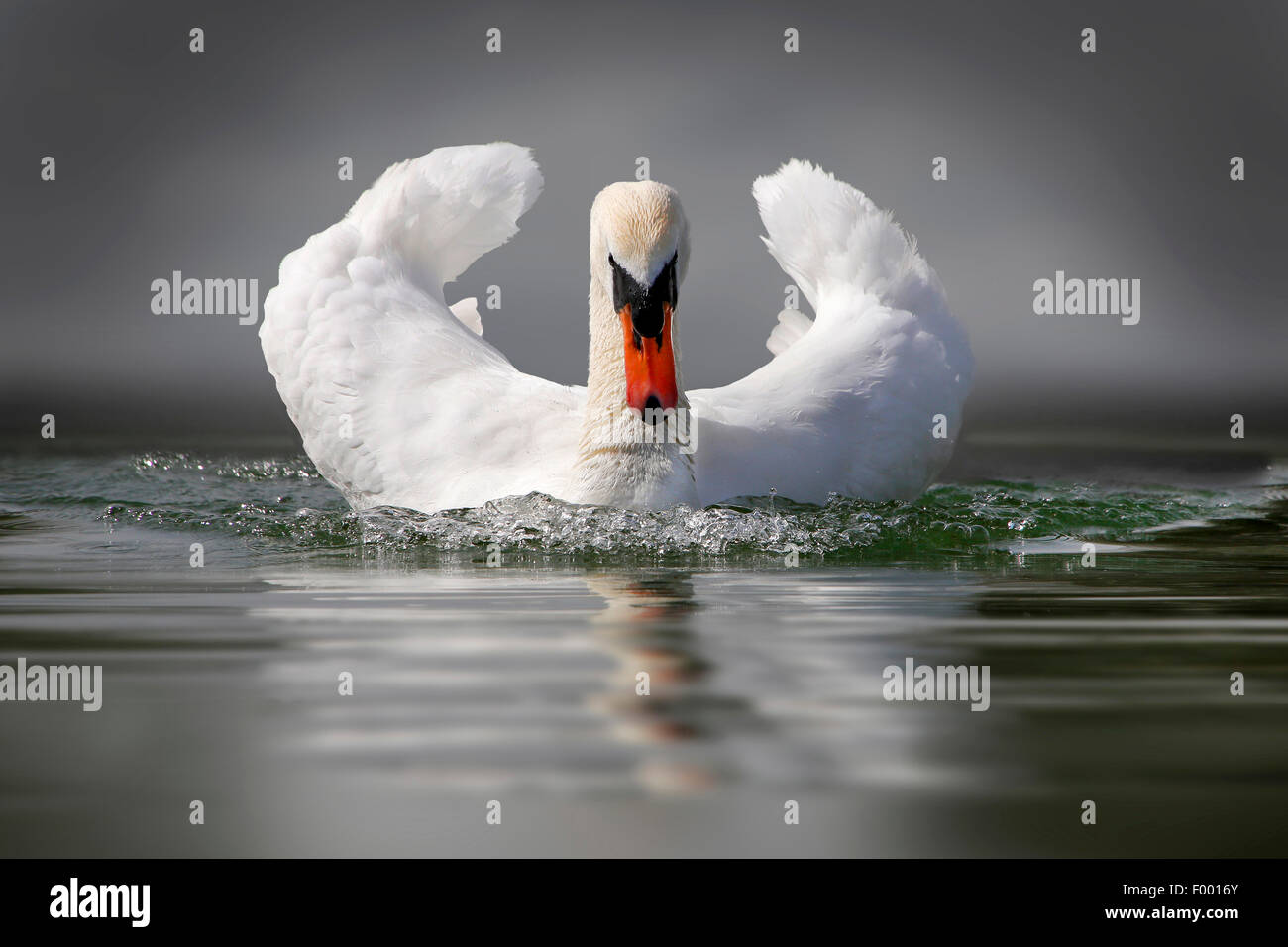 mute swan (Cygnus olor), swims with threatening gesture, Germany - Stock Image