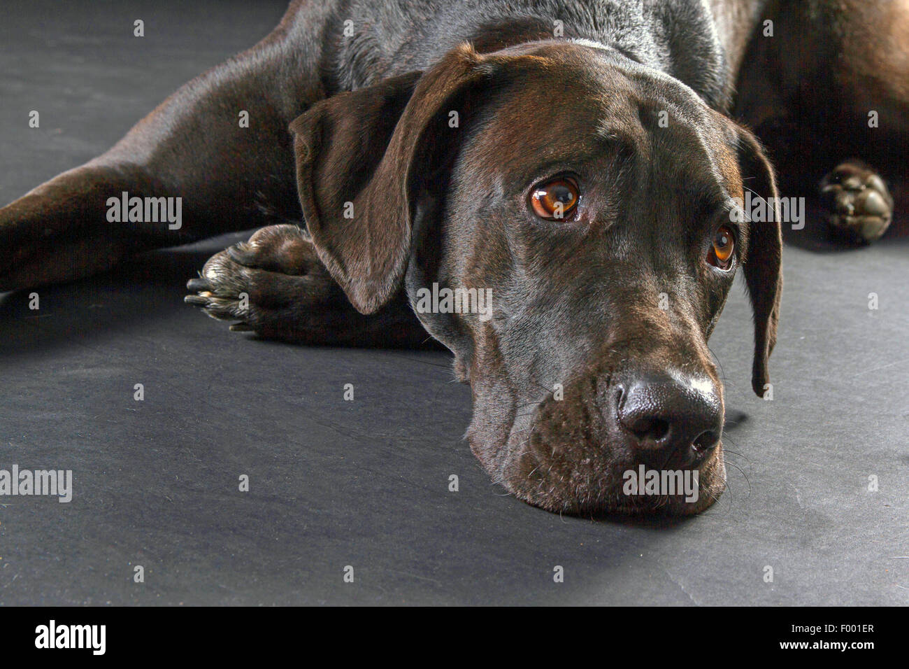 Labrador Retriever (Canis lupus f. familiaris), black-haired Labrador Retriever lyingon the floor, portrait - Stock Image
