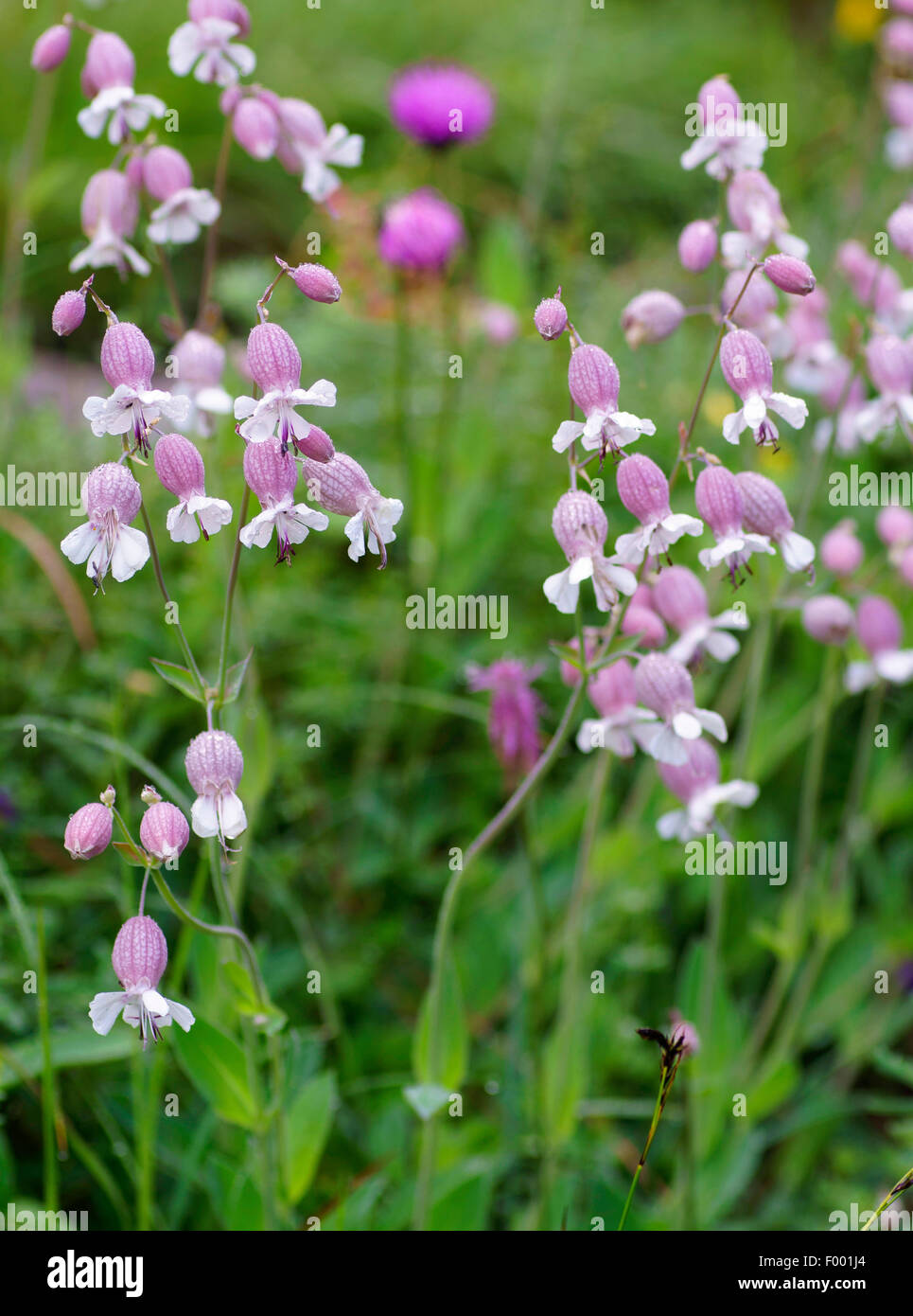 bladder campion, maiden's tears (Silene vulgaris), blooming, Austria, Tyrol, Lechtaler Alpen - Stock Image