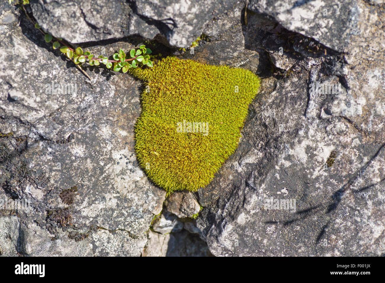 moss cushions in rock crevices, Austria, Tyrol, Lechtaler Alpen Stock Photo