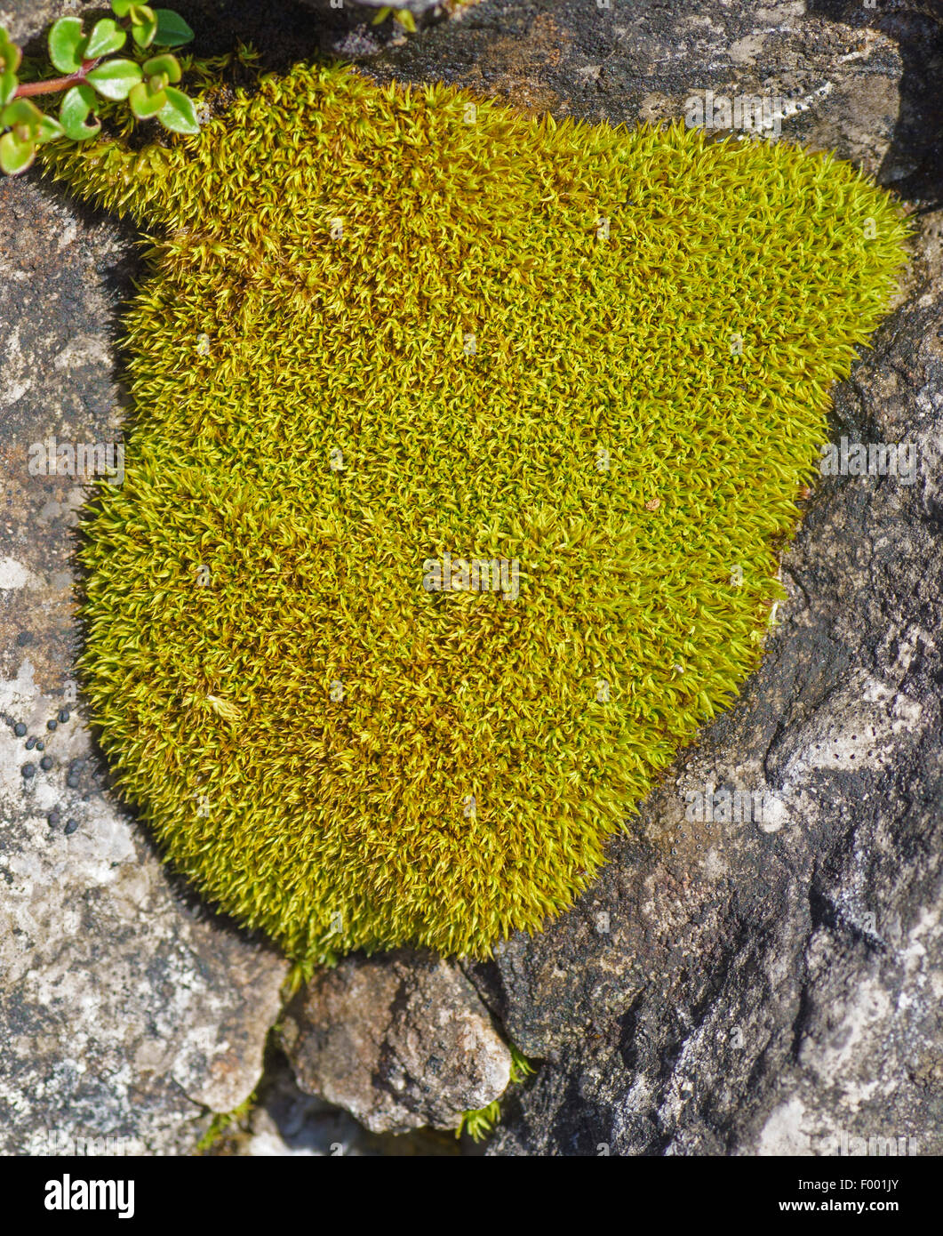 moss cushions in rock crevices, Austria, Tyrol, Lechtaler Alpen Stock Photo