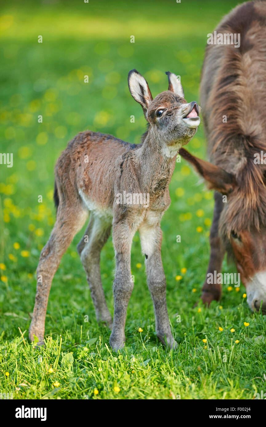 Domestic donkey (Equus asinus asinus), mother with her 8 hour old juvenile, Germany - Stock Image