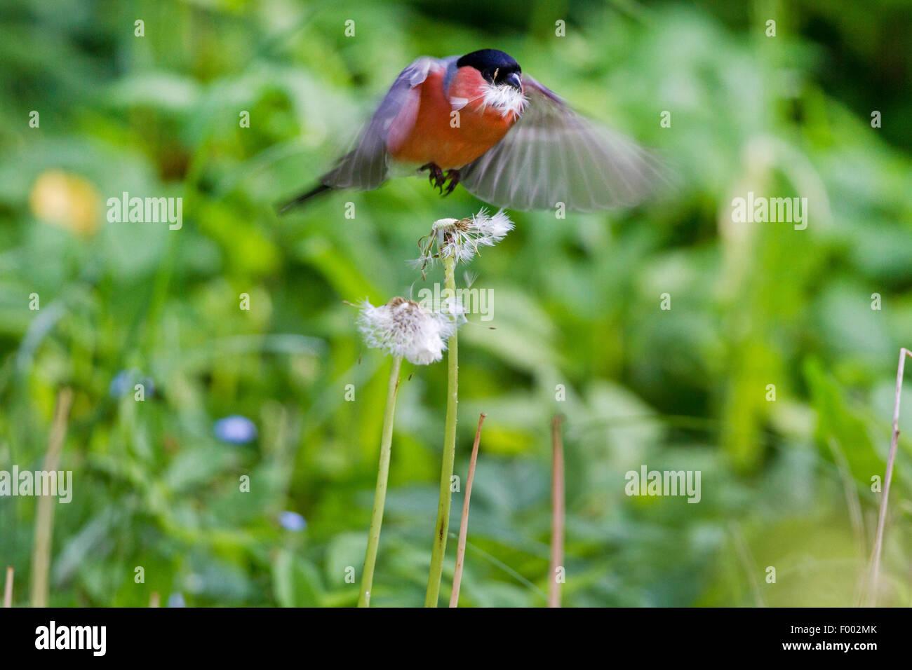 bullfinch, Eurasian bullfinch, northern bullfinch (Pyrrhula pyrrhula), male with seeds of dandelion in its bill, - Stock Image