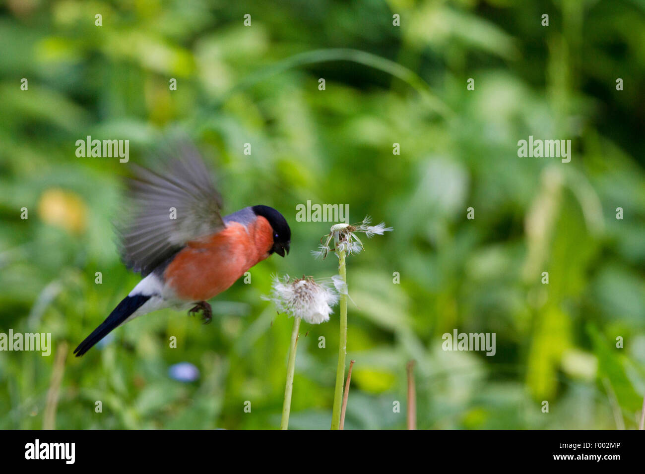 bullfinch, Eurasian bullfinch, northern bullfinch (Pyrrhula pyrrhula), male approaching dandelion seed head, Germany, - Stock Image