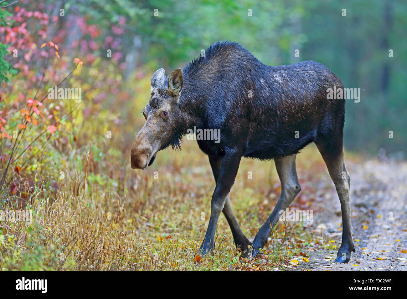 Canadian moose, Northwestern moose, Western moose (Alces alces andersoni, Alces andersoni), female walks at the - Stock Image
