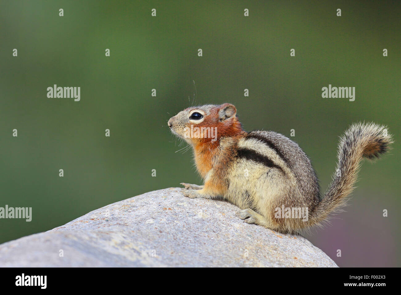 golden-mantled ground squirrel (Spermophilus lateralis, Citellus lateralis, Callospermophilus lateralis), sits ona - Stock Image