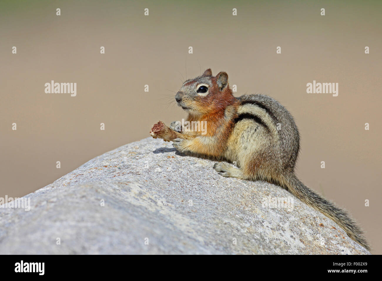 golden-mantled ground squirrel (Spermophilus lateralis, Citellus lateralis, Callospermophilus lateralis), sits on - Stock Image