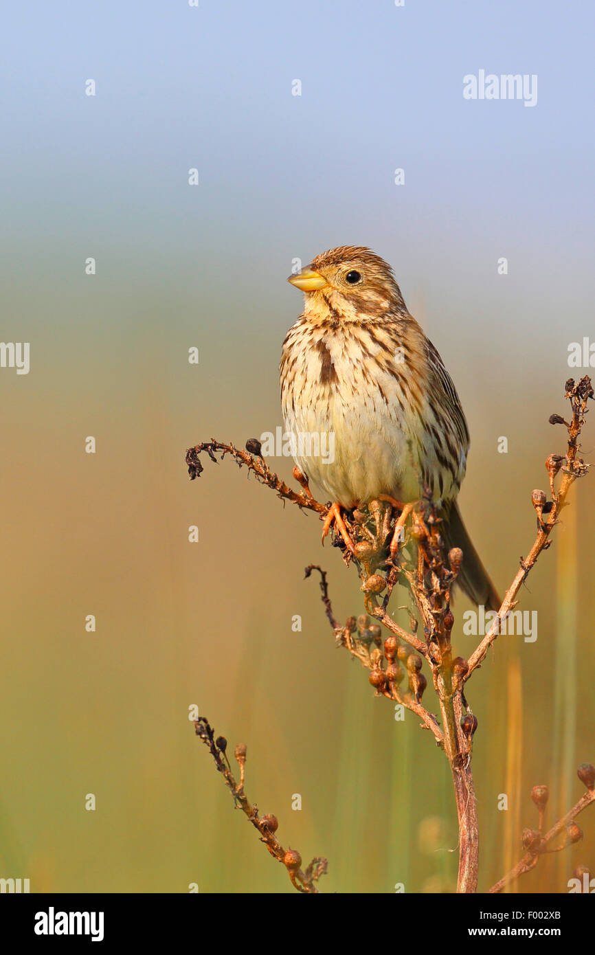 corn bunting (Emberiza calandra, Miliaria calandra), sitting on a dried asphodel, Greece, Lesbos - Stock Image
