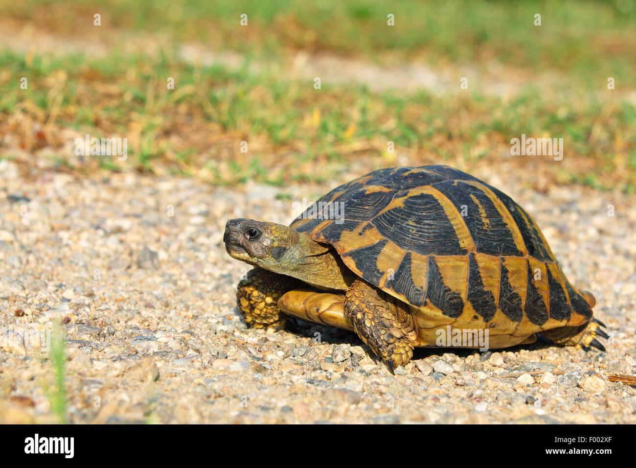 Hermann's tortoise, Greek tortoise (Testudo hermanni), walking tortoise, Greece, Lake Kerkini Stock Photo