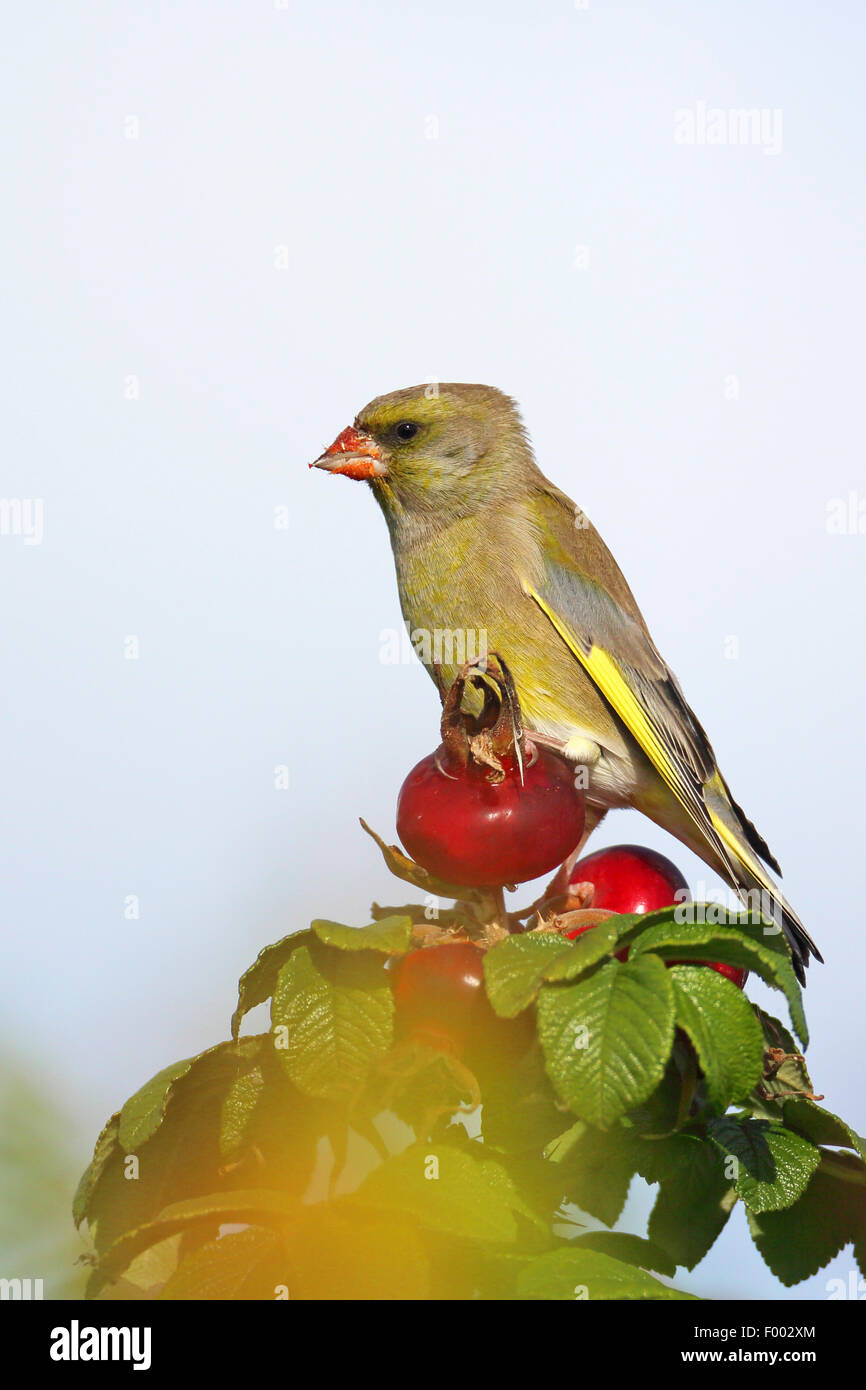 western greenfinch (Carduelis chloris), male sittng on the rosehip of a Japanese rose, Netherlands, Frisia Stock Photo
