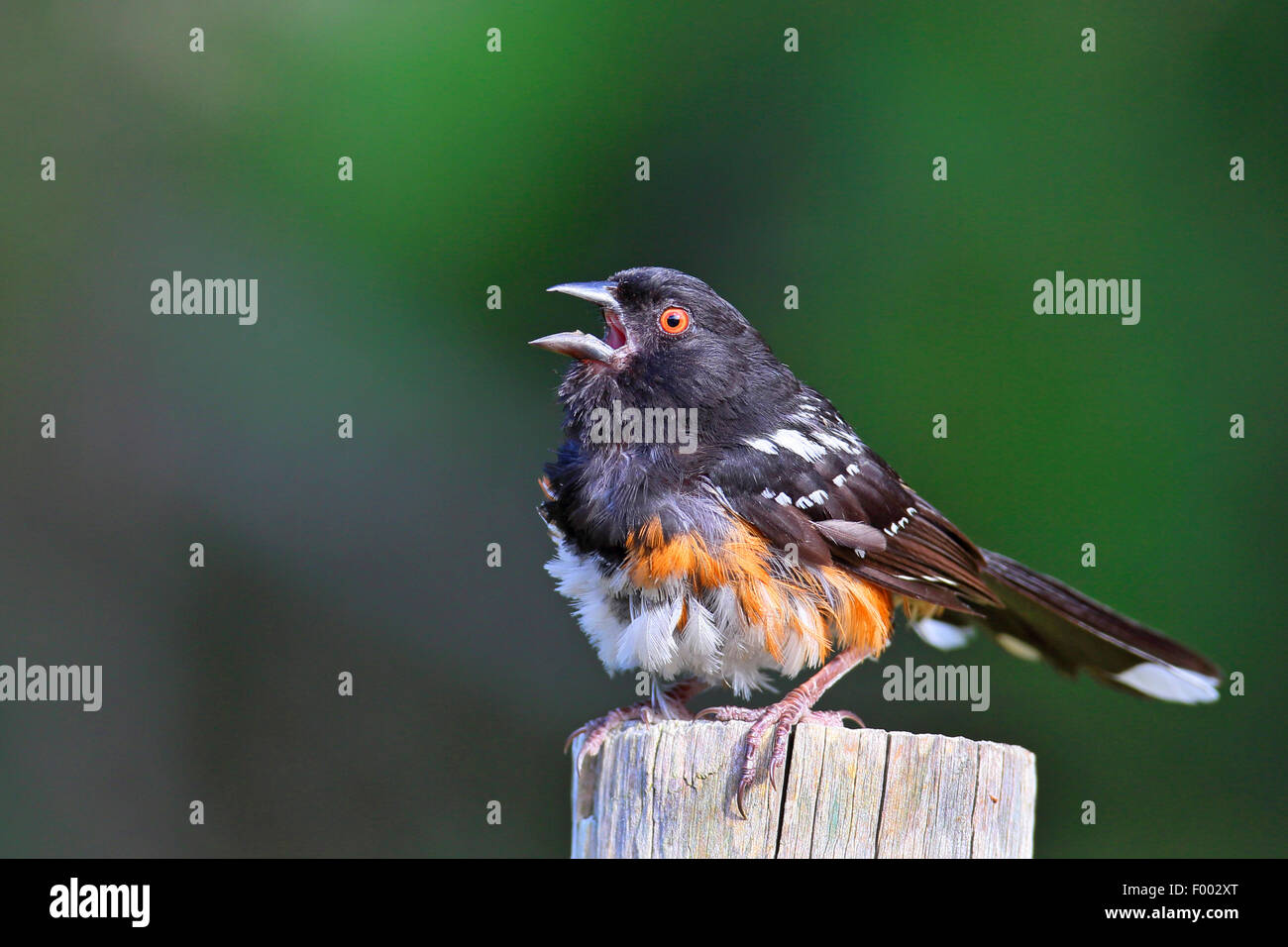 Spotted towhee (Pipilo maculatus), male sitting on a post and singing, Canada, Vancouver Island Stock Photo