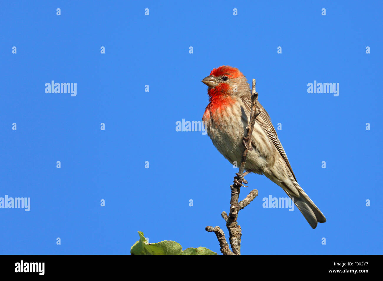 House finch (Carpodacus mexicanus), male sitting on a bush, Canada, Vancouver Island, Victoria - Stock Image