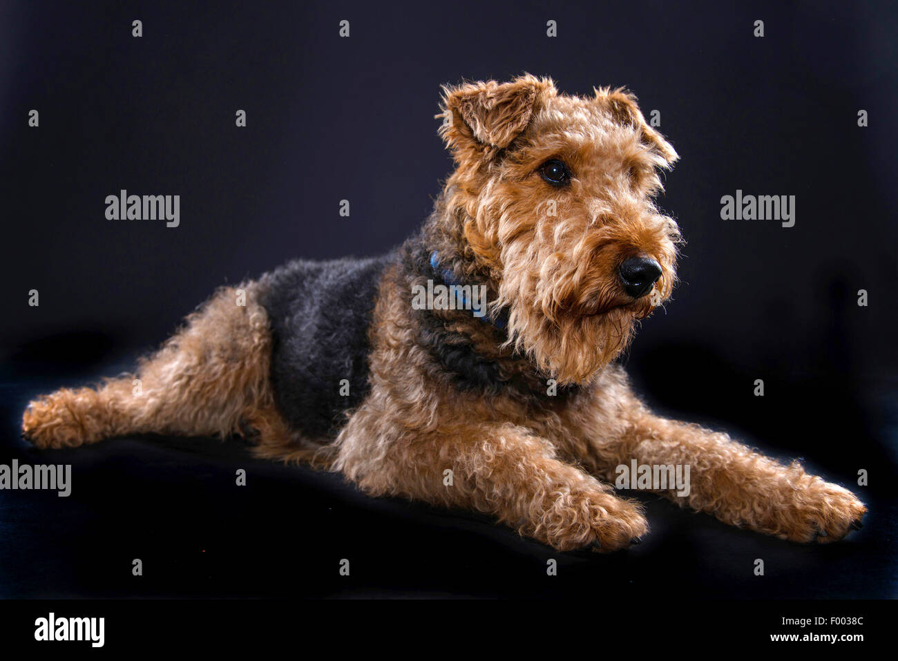 Airedale Terrier (Canis lupus f. familiaris), lying - Stock Image