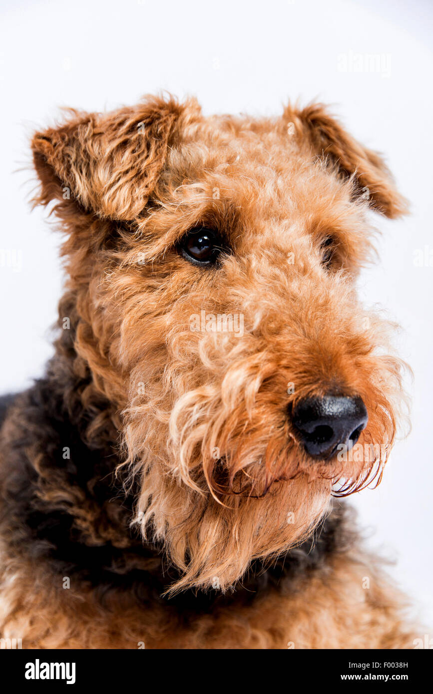 Airedale Terrier (Canis lupus f. familiaris), portrait - Stock Image