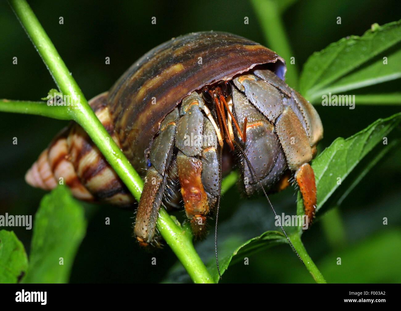 large hermit crab, common hermit crab, soldier crab, soldier hermit crab, Bernhard's hermit crab (Pagurus bernhardus, - Stock Image
