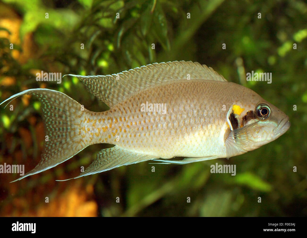 Princess of Burundi, Lyretail Lamprologus (Neolamprologus brichardi, Lamprologus brichardi, Lamprologus elongatus), - Stock Image