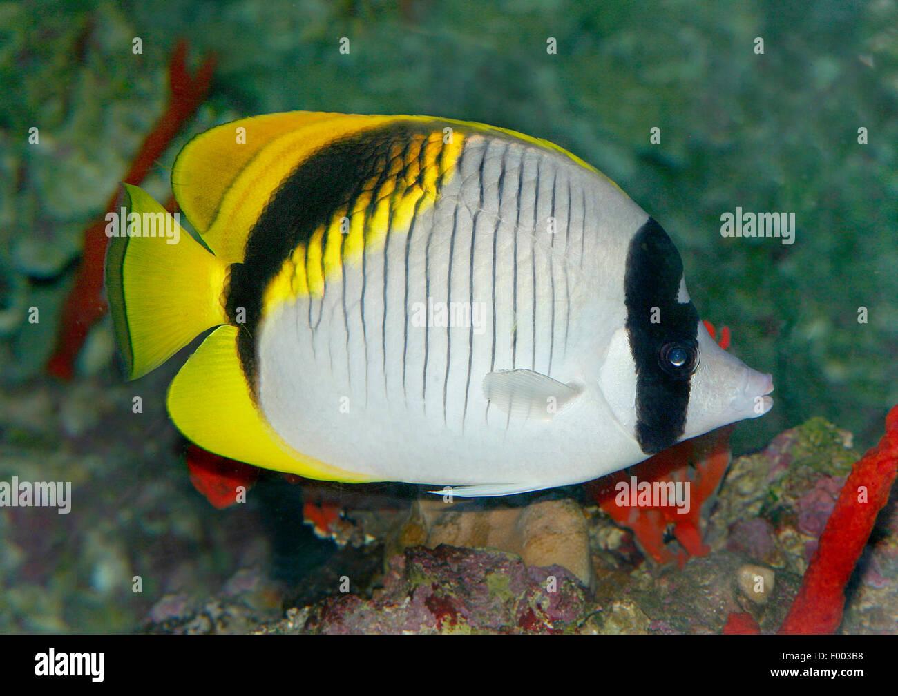 Lined butterflyfish (Chaetodon lineolatus), swimming - Stock Image