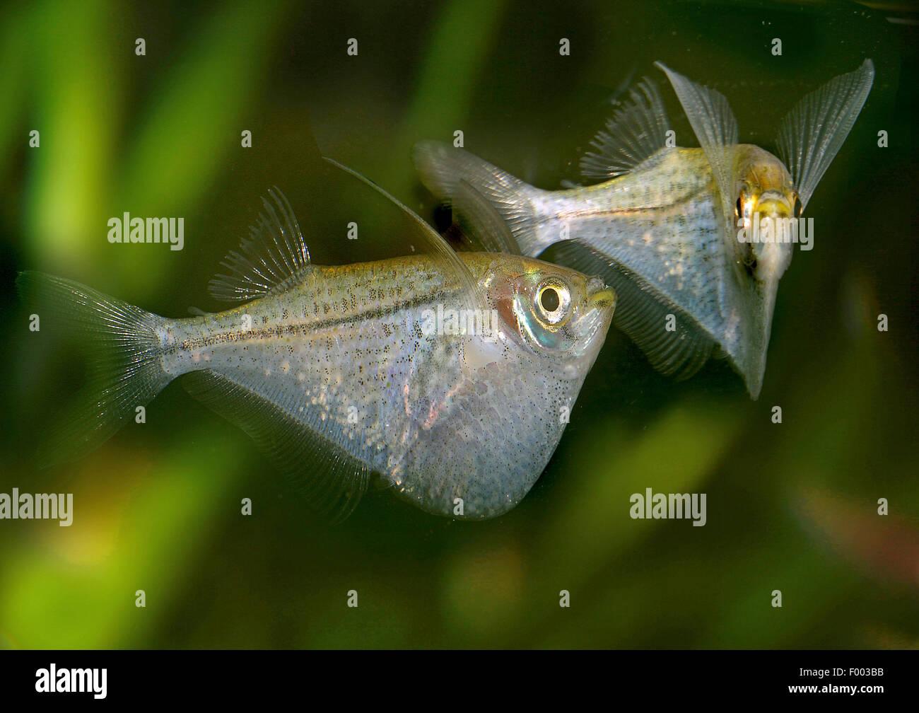 Pygmy hatchetfish (Carnegiella myersi), two Pygmy hatchetfishes - Stock Image