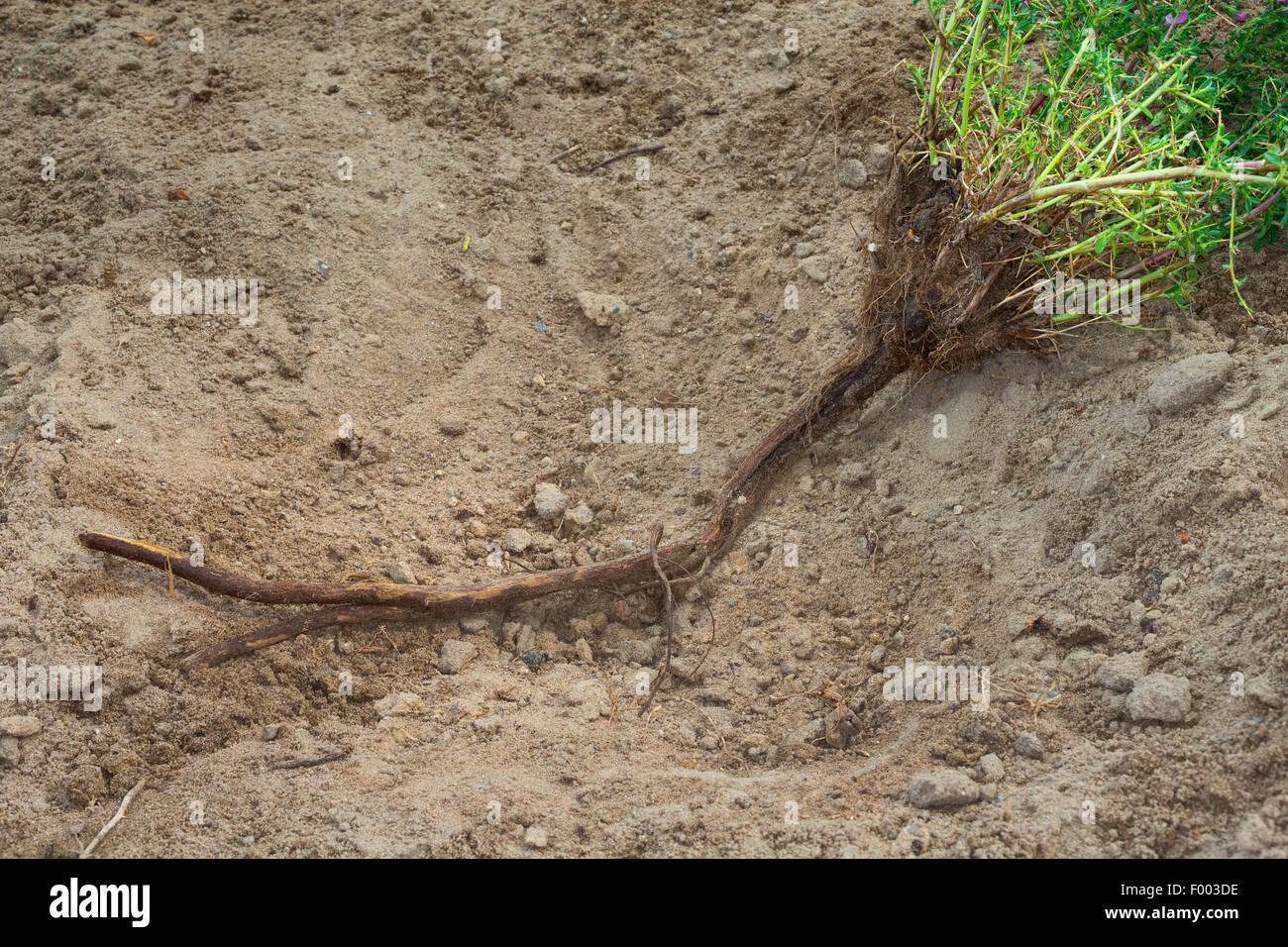 spiny restharrow (Ononis spinosa), root, Germany - Stock Image