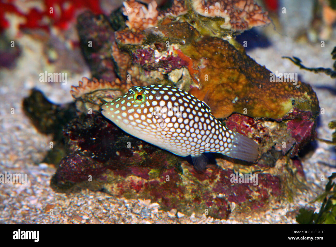 Spotted Puffer (Canthigaster jactator), swimming, Hawaii Stock Photo