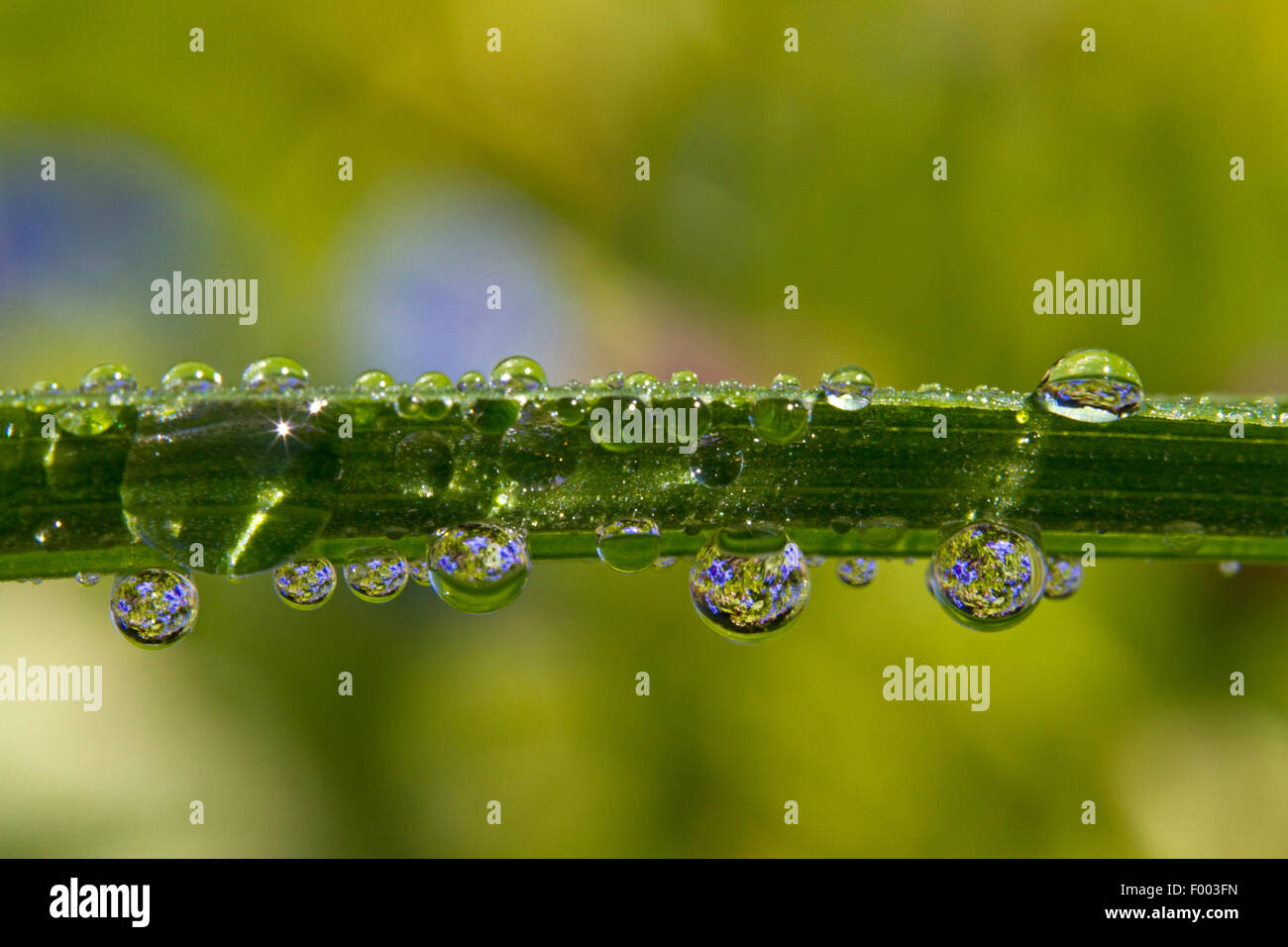 dew drops with mirror images, Germany, Mecklenburg-Western Pomerania - Stock Image