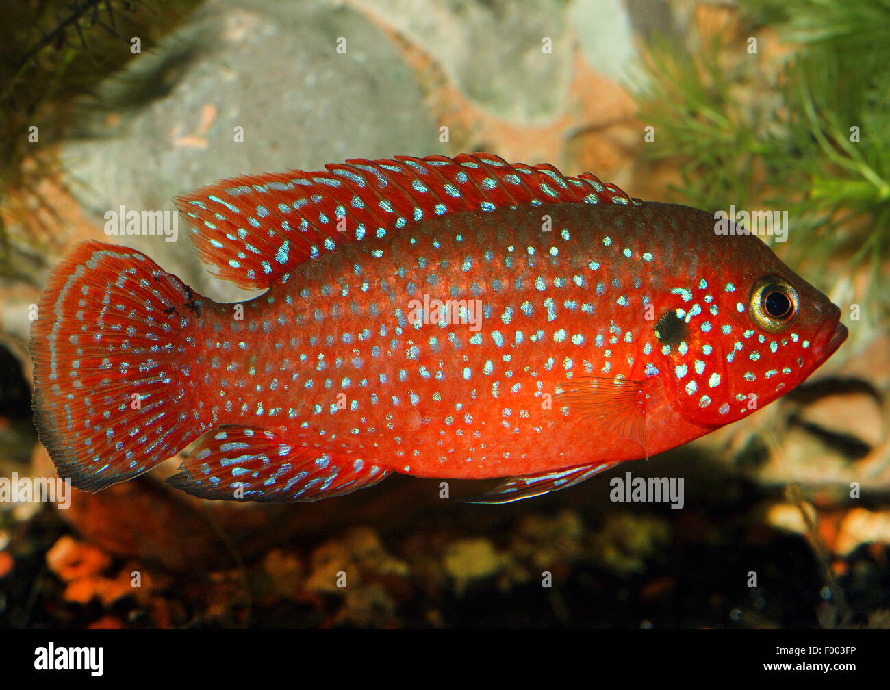 Fish Red Spots Stock Photos & Fish Red Spots Stock Images - Alamy