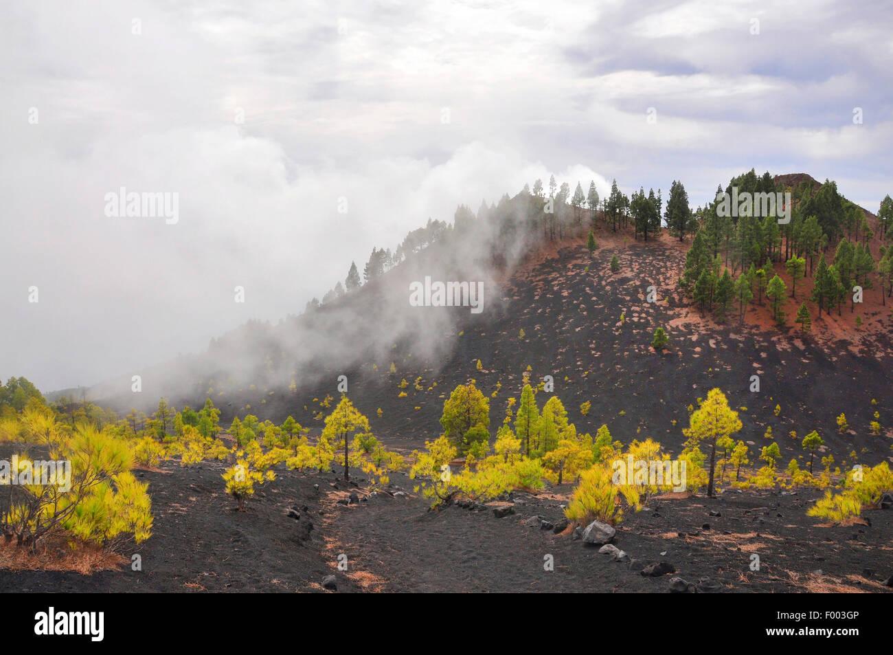 Canary pine (Pinus canariensis), on lava ash in the fog, Canary Islands, La Palma, Llanos de Jable - Stock Image