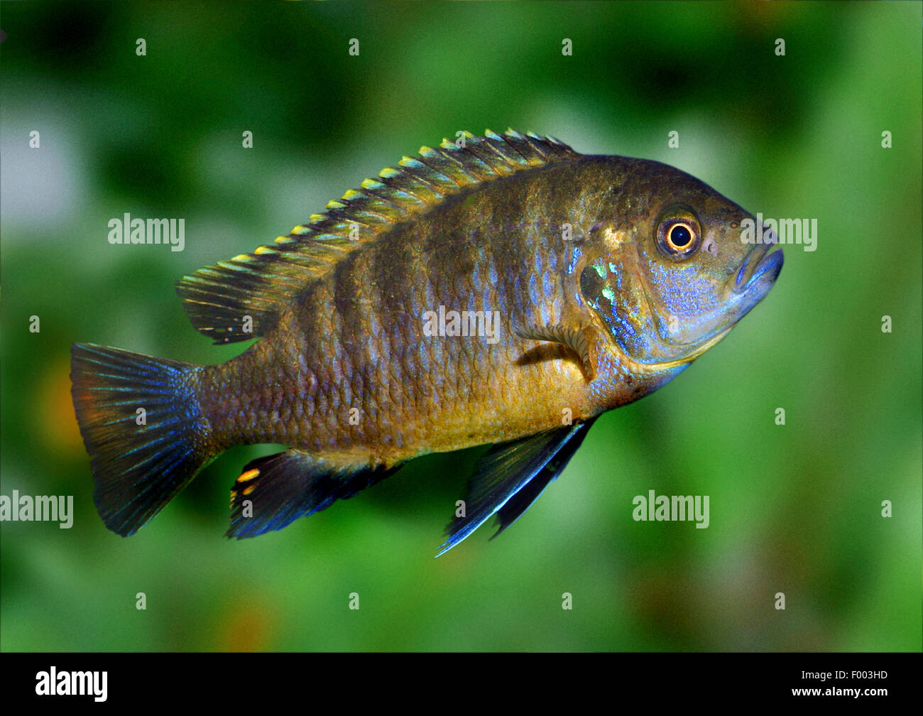 Red-shoulder Malawi peacock cichlid, Aulonocara Fort Maguire (Aulonocara hansbaenschi), swimming - Stock Image