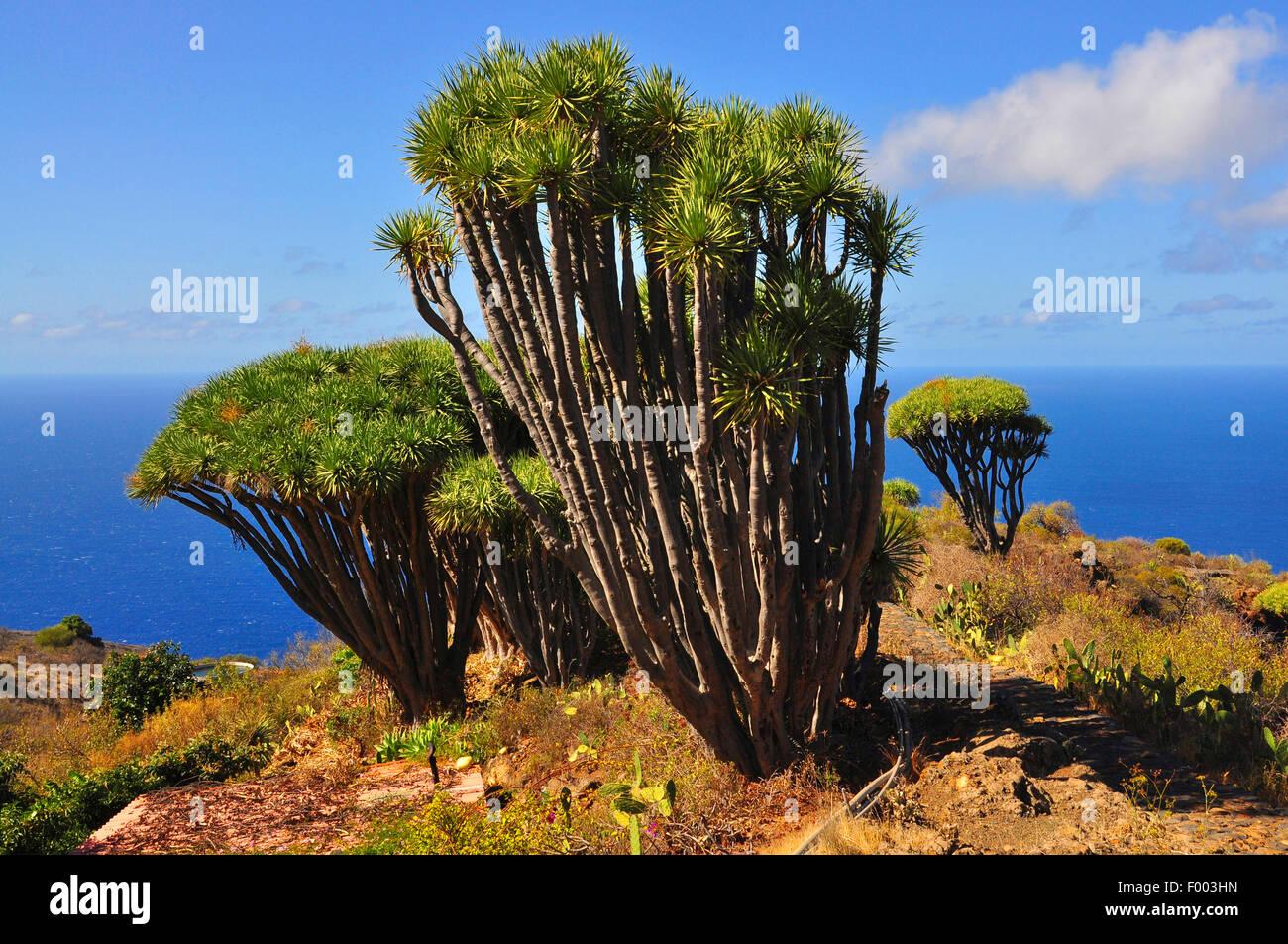 Tear Dragon's blood, Draegon Tree, Canary Islands Dragon Tree, Drago  (Dracaena draco), Draegon trees in front - Stock Image