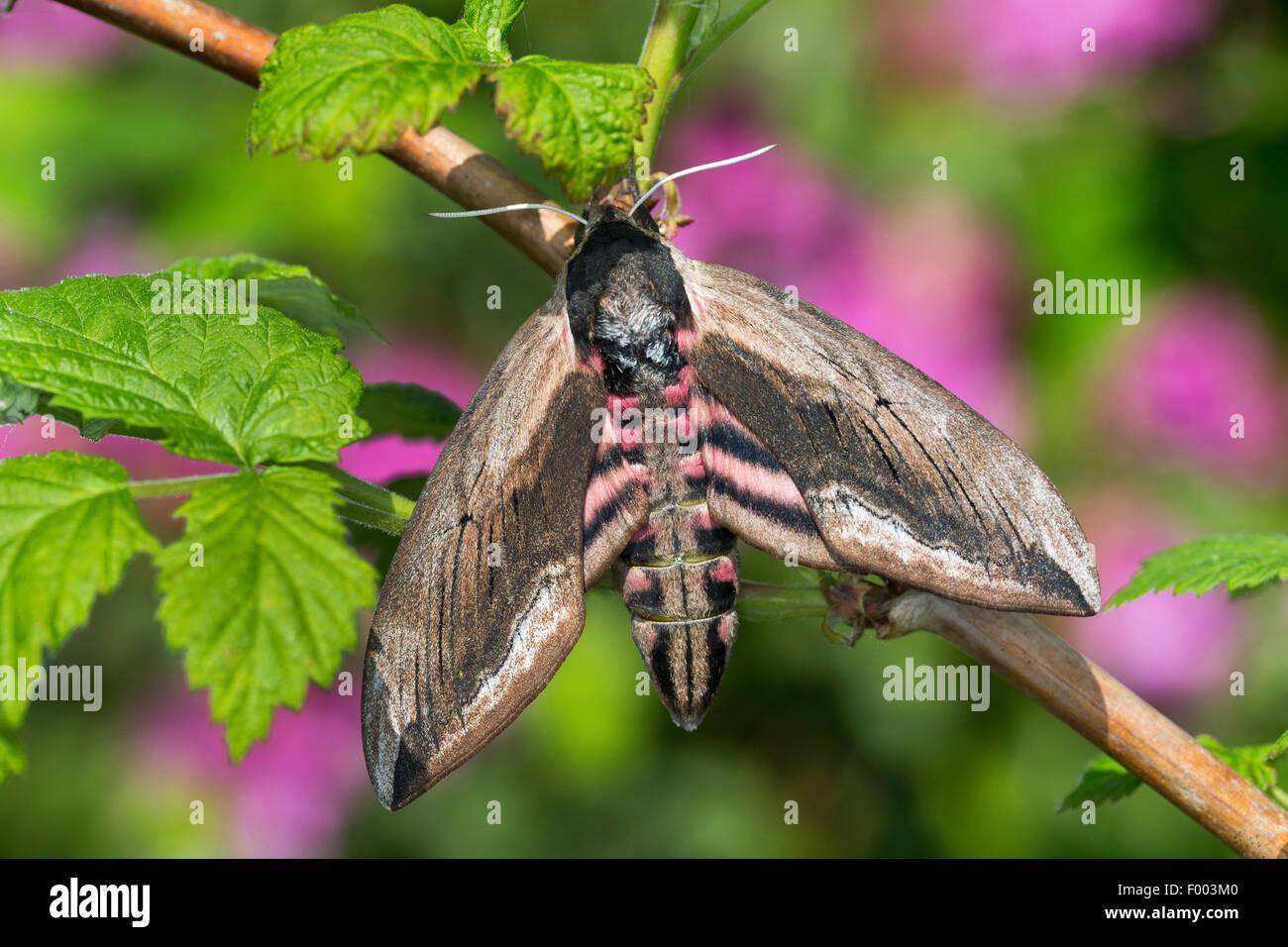 privet hawkmoth (Sphinx ligustri), at a twig, Germany - Stock Image