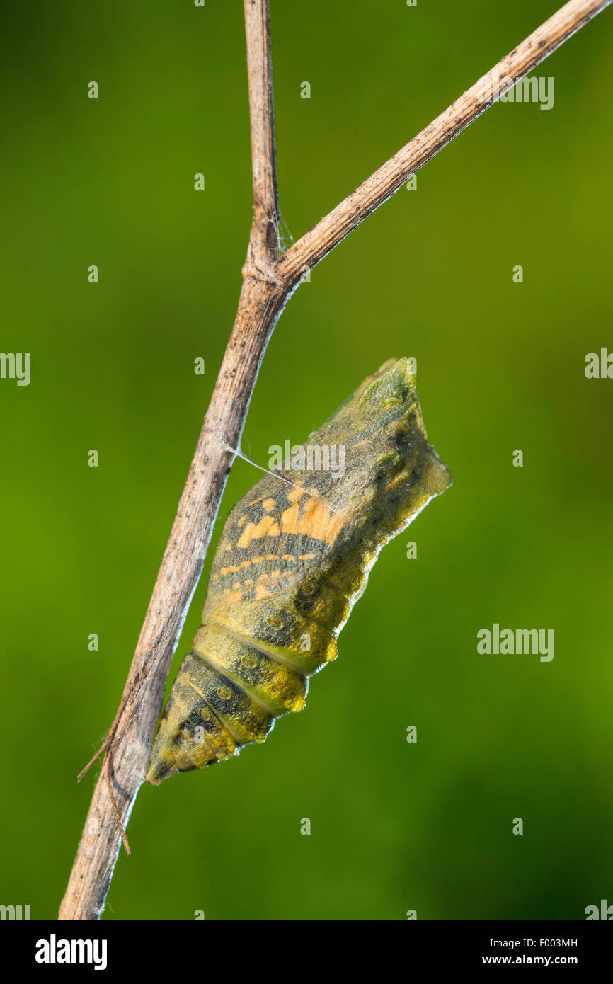 swallowtail (Papilio machaon), pupa on the verge of hatching, butterfly shines through, Germany Stock Photo