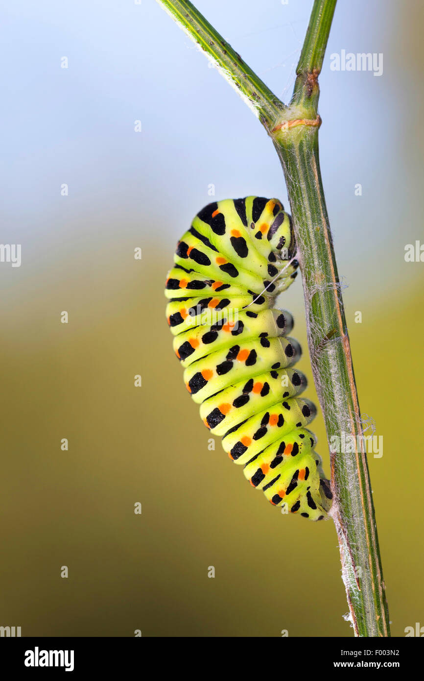 swallowtail (Papilio machaon), caterpillar starts pupation, Germany - Stock Image