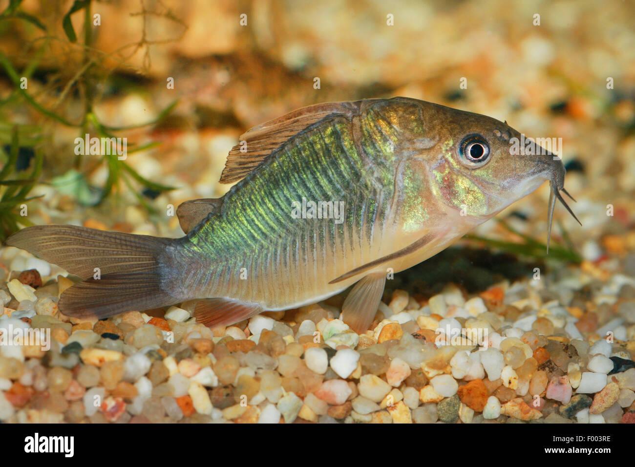 Aeneus catfish, Bronze Corydoras (Corydoras aeneus), swimming - Stock Image