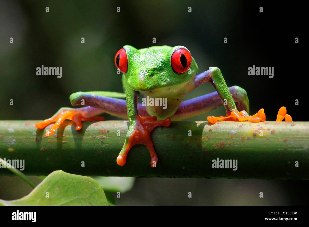 red-eyed treefrog, redeyed treefrog, redeye treefrog, red eye treefrog, red eyed frog (Agalychnis callidryas), on - Stock Image